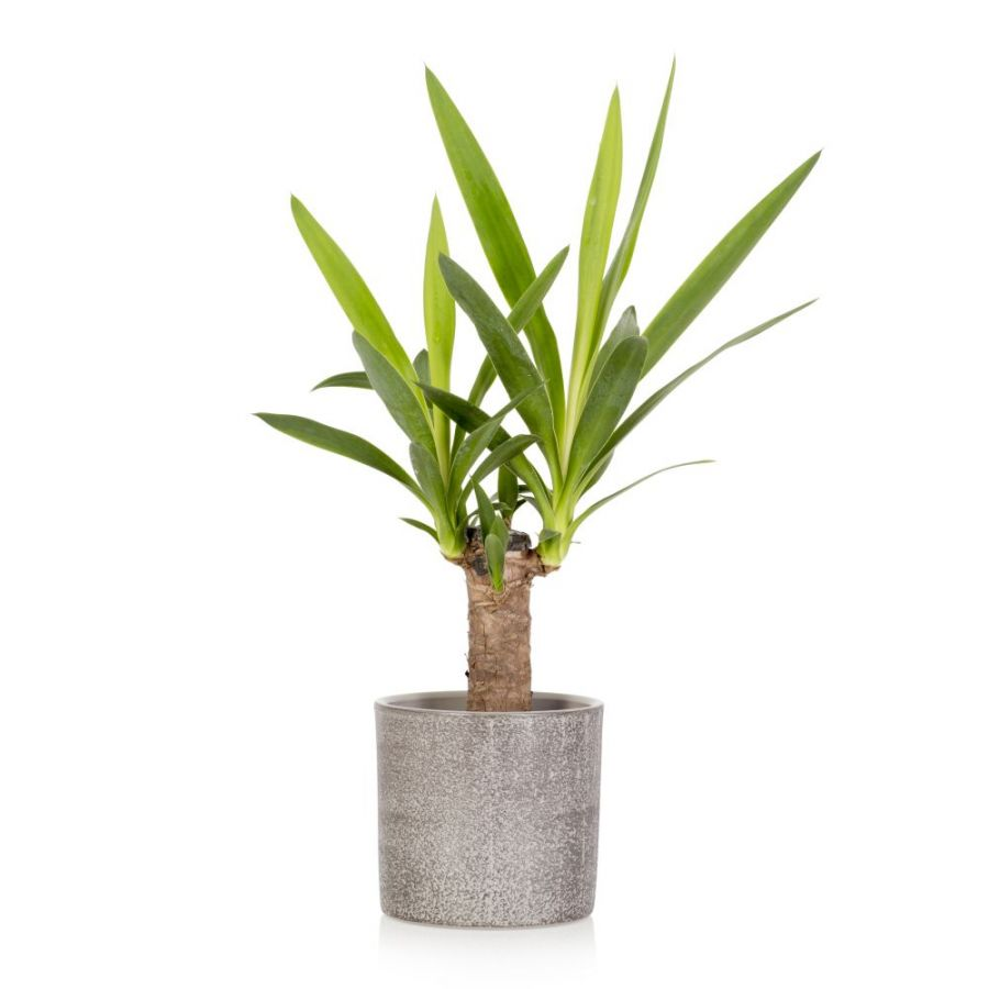 35cm Spineless Yucca Plant With Ceramic Pot | Yucca Elephantipes | By The Little Botanical™