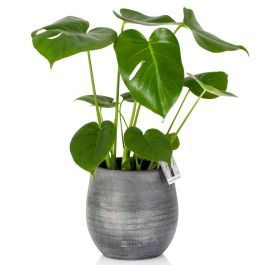 45cm Swiss Cheese Plant With Ceramic Pot | Monstera deliciosa | By The Little Botanical™