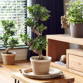 60cm Ficus Ginseng in Wicker Basket | S Shape Bonsai Tree | 22cm Pot | By Plant Theory