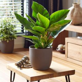 50cm Philodendron 'Imperial Green' | 19cm Pot | By Plant Theory