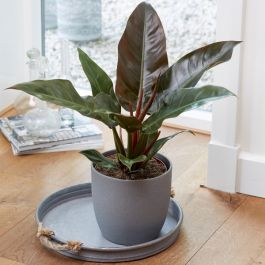 50cm Philodendron 'Imperial Red' | 19cm Pot | By Plant Theory