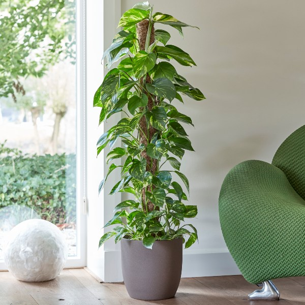 120cm Devil's Ivy 'Aureum' on Moss Pole | Scindapsus | 24cm Pot | By Plant Theory