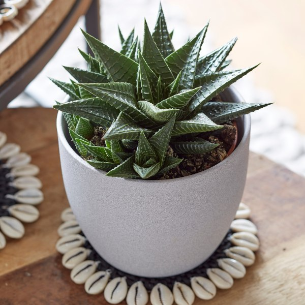 20cm Haworthia Limifolia | Fairy Washboard | 11cm Pot | By Plant Theory