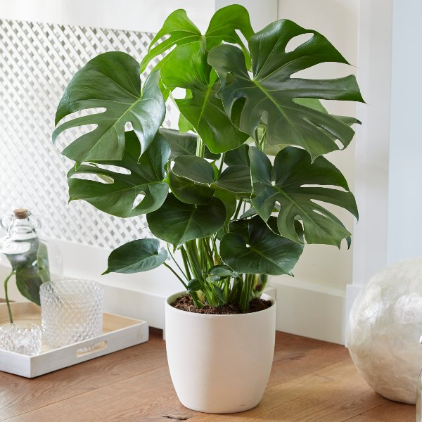 100cm Monstera Deliciosa | Swiss Cheese Plant | 30cm Pot | By Plant Theory