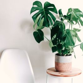 100cm Monstera Deliciosa | Swiss Cheese Plant | 21cm Pot | By Plant Theory