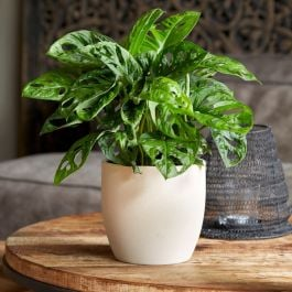 30cm Monkey Leaf Monstera | Monstera Obliqua | 15cm Pot | By Plant Theory