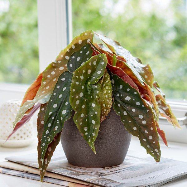 30cm 'Polka Dot' Begonia | Begonia Maculata | 12cm Pot | By Plant Theory