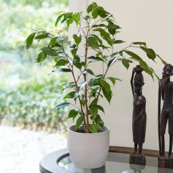 70cm Ficus benjamina 'Danita' | Weeping Fig | 17cm Pot | By Plant Theory