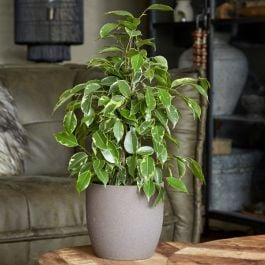 70cm Ficus benjamina 'Golden King' | Weeping Fig | 17cm Pot | By Plant Theory