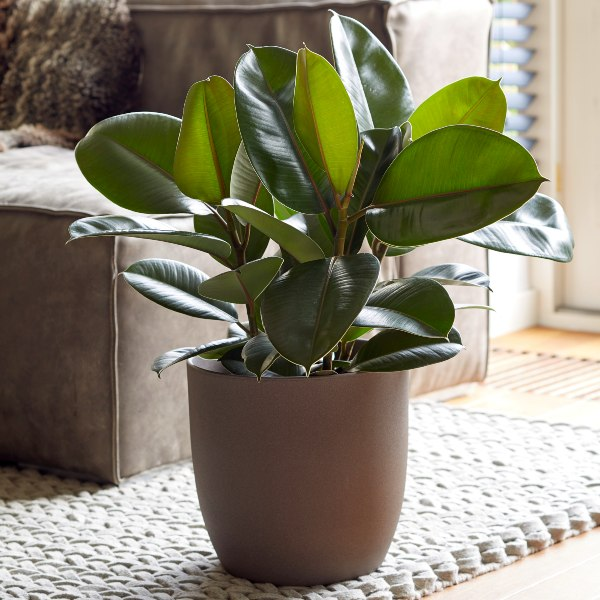 60cm Multi Stem Rubber Plant | Ficus elastica Robusta | 21cm Pot | By Plant Theory