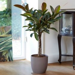 100cm Triple Stem Rubber Plant 'Melany' | Ficus elastica | 21cm Pot | By Plant Theory