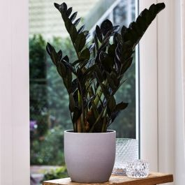 80cm Zamioculcas 'Super Nova' | Black Raven | 17cm Pot | By Plant Theory