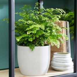 30cm Maidenhair Fern | Adiantum 'Fritz-Luthi' | 12cm Pot | By Plant Theory