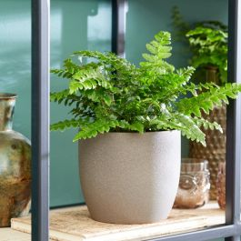 30cm Japanese Lace Fern | Polystichum Polyblepharum | 12cm Pot | By Plant Theory