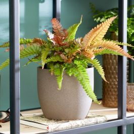 30cm Painted Brake Fern | Pteris Quadriaurita 'Tricolor' | 12cm Pot | By Plant Theory