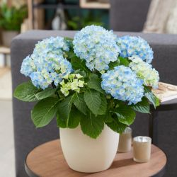 40cm Blue Indoor Hydrangea | 14cm Pot | By Plant Theory