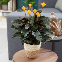 40cm Eternal Flame Plant | Calathea Crocata 'Candela' | 14cm Pot | By Plant Theory