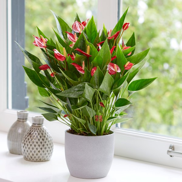 40cm 'Million Flowers' Anthurium | 12cm Pot | By Plant Theory