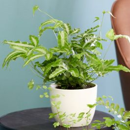 30cm Ribbon Fern | Pteris Cretica Mayi | 9cm Pot | By Plant Theory