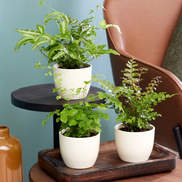 Fern Starter Collection By Plant Theory | 3x 9cm Pots