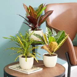 Croton Colour Collection By Plant Theory | 35cm Pictum, Excellent & Petra Crotons | 3x 9cm Pots