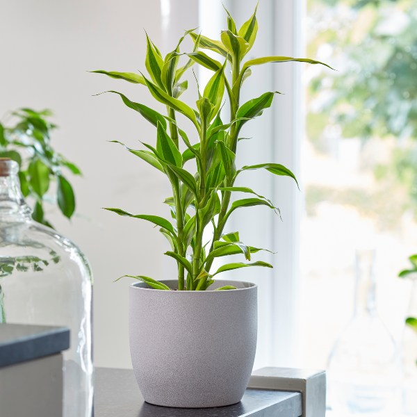 35cm Dracaena sanderiana 'Yellow Gold' | Lucky Bamboo | 9cm Pot | By Plant Theory