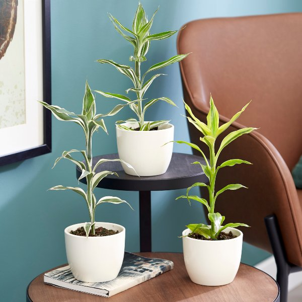 Dracaena Collection By Plant Theory | 35cm Victory, Yellow Gold & White Stripe Dracaenas | 3x 9cm Pots