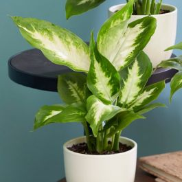 35cm Dieffenbachia'Compacta' | Leopard Lilly | 9cm Pot | By Plant Theory