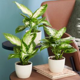 The Dieffenbachia Collection By Plant Theory | 35cm Camilla & Compacta Diffenbachias | 3x 9cm Pots