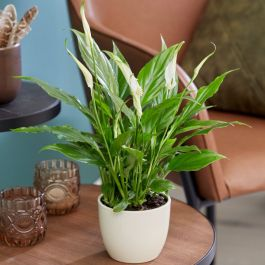 35cm Peace Lily | Spathiphyllum | 9cm Pot | By Plant Theory