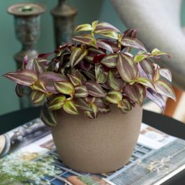 50cm Tradescantia 'Purple Leaf' | Zebrina | 9cm Pot | By Plant Theory