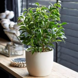 50cm Ficus 'Nastasha' | Weeping Fig | 13cm Pot | By Plant Theory