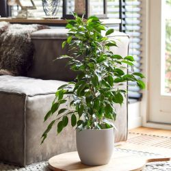 70cm Ficus benjamina | Weeping Fig | 13cm Pot | By Plant Theory