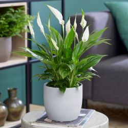 Peace Lilly Collection By Plant Theory | 35cm Spathiphyllums | 3x 9cm Pots
