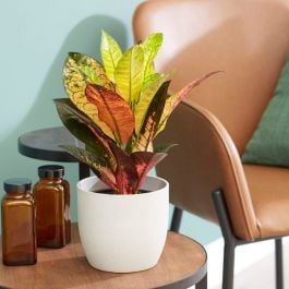 35cm Croton 'Excellent' | Joseph's Coat | 9cm Pot | By Plant Theory