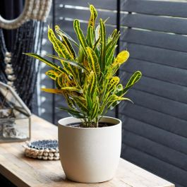 50cm Croton 'Yellow Banana' | Joseph's Coat | 13cm Pot | By Plant Theory