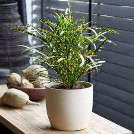50cm Croton 'Pictum' | Joseph's Coat | 13cm Pot | By Plant Theory