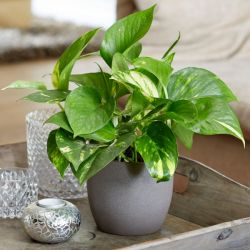 30cm Golden Pothos | Devil's Ivy | Scindapsus | 13cm Pot | By Plant Theory