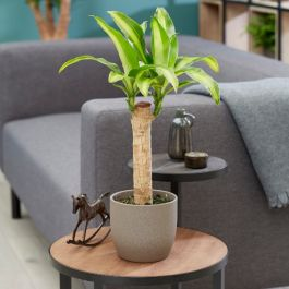 50cm Dracaena fragrans 'Massangeana' | Single Cane | Dragon Tree | 13cm Pot | By Plant Theory