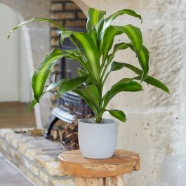 50cm Dracaena fragrans 'Massangeana' | Dragon Tree | 13cm Pot | By Plant Theory