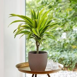 60cm Dracaena deremensis 'Yellow Lime' | Single Cane | 15cm Pot | By Plant Theory
