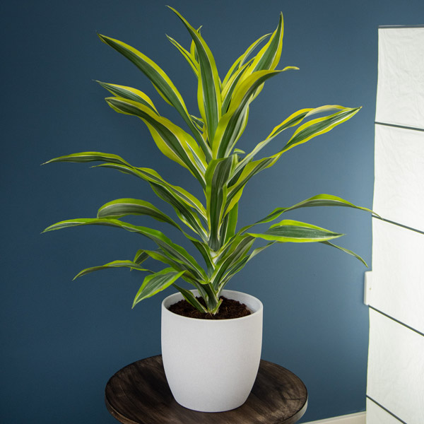 3ft Dracaena deremensis 'Yellow Lime' | 3L Pot | By Plant Theory