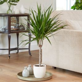 60cm Dracaena Marginata | Single Cane | Dragon Tree | 15cm Pot | By Plant Theory