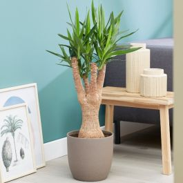 110cm Spineless Yucca | 33cm Pot | By Plant Theory