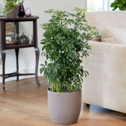 100cm Multi Stem Schefflera | Umbrella Tree | 5L Pot | By Plant Theory