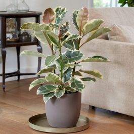 90cm Variegated Rubber Plant | Ficus Robusta 'Tineke' | 7L Pot | By Plant Theory