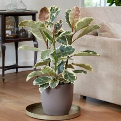 4ft Variegated Rubber Plant | Ficus Robusta 'Tineke' | 5L Pot | By Plant Theory