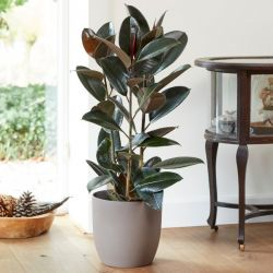 3ft Rubber Plant | Ficus Robusta | 7L Pot | By Plant Theory