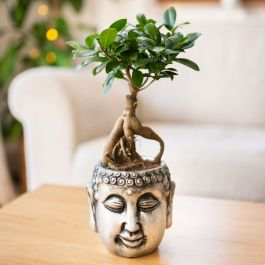 35cm Bonsai Tea Tree in Buddha Pot | Carmona Retusa | 16cm Pot | By Plant Theory