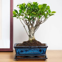 35cm Bonsai Fig Tree in Ceramic Pot | Ficus | 20cm Pot | By Plant Theory